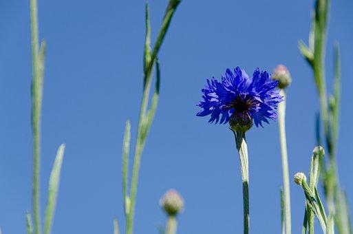 Cornflower, Cyanus, Blossom, Bloom, Blue