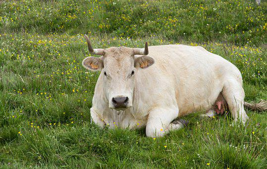 Cow, Cattle, Breeding, Pastures, Horns