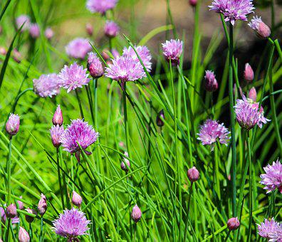 Chives, Herb, Perennial, Food, Edible, Chive Blossoms