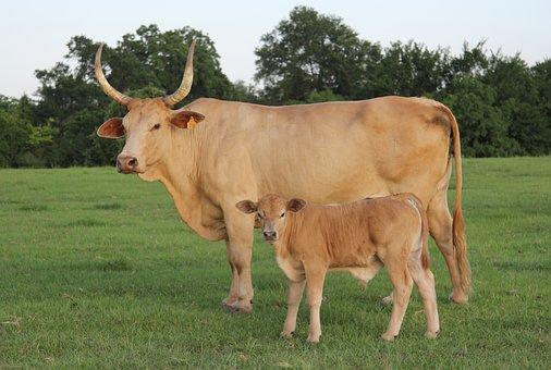 Cow, Calf, Cattle, Animal, Livestock, Pasture, Farm