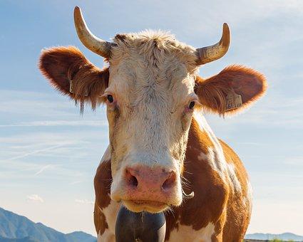Cow, Calf, Bovino, Animal, Livestock, Farm, Pasture