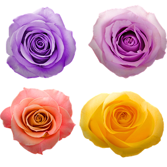Flowers, Colorful Roses, Purple And Pink, Yellow Rose