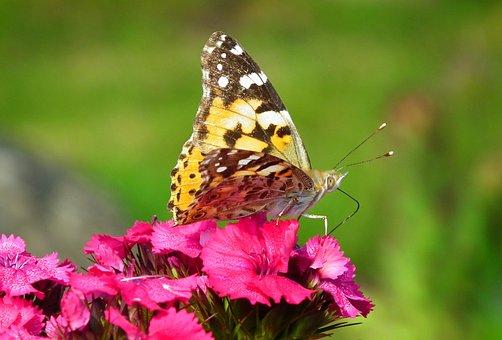 Butterfly, Insect, Flowers, Gożdziki