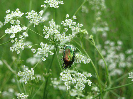 Beetle, Grass, Field, Flower, Macro, Insects, Forest