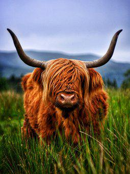 Cattle, Beef, Highland, Highland Beef, Cow