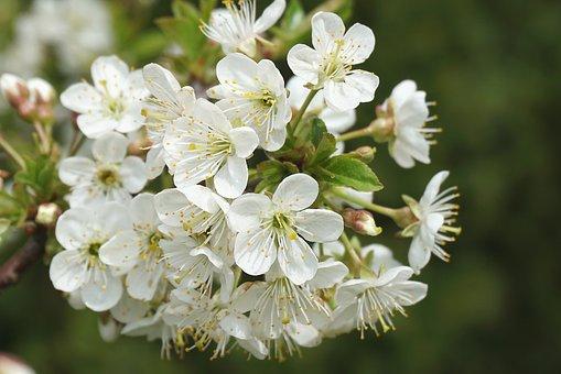 Plum Flower, White, Inflorescence, Spring, Plum, Branch