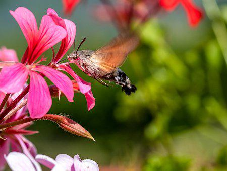 Sphinx Colibri, Insects, Flower