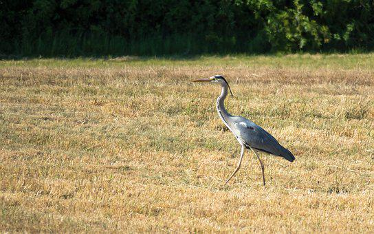 Heron, Bird, Intervention, Strut, Grey Heron, Eastern