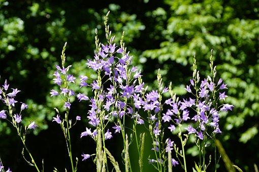 Bellflower, Flowers, Wildflowers, Blue, Summer, June