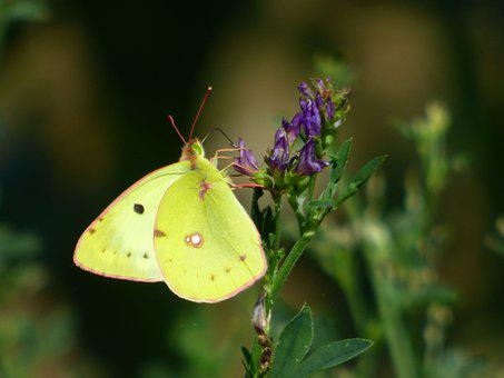 Butterfly, Lemon, Yellow, Insects, Wing, Nature, Flower