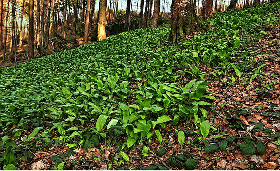 Ramsons, Mountains, Forest, Polyana