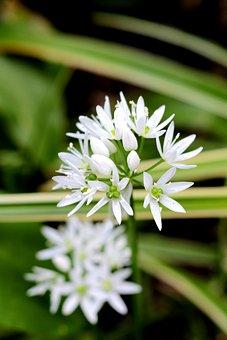 Allium Ursinum, Ramsons, White, Edible, Nature, Petals