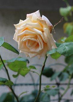 Cream Rose, Roses, Nature, Petals, Cream