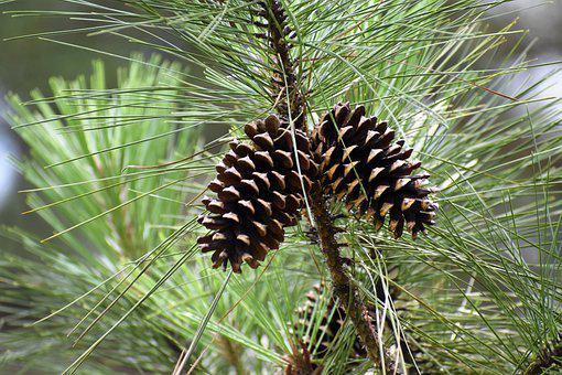 Pinecone, Pine Tree, Forest, Mid-autumn Festival, July