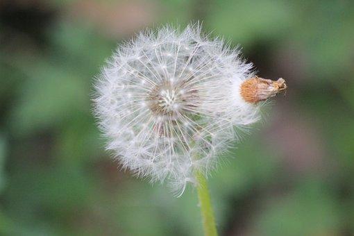 Dandelion, Spring, Seeds, Close Up, Plant