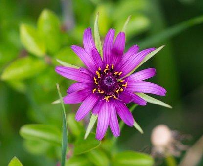 Salsify Flower, Wild Flower, Purtpple Wild Flower