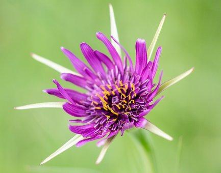 Salsify Flower, Wild Flower, Purple Wild Flower