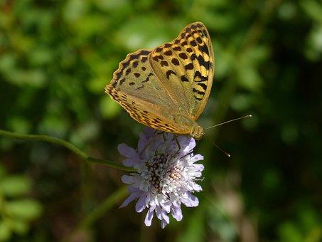 Butterfly, Flower, Libar, Scabiosa