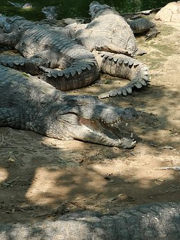 Sharp Teeth, Crocodile, Alligator