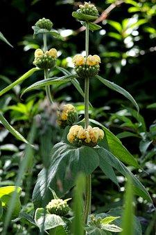 Phlomis Russeliana, Etageplant, Fire Herb, Summer