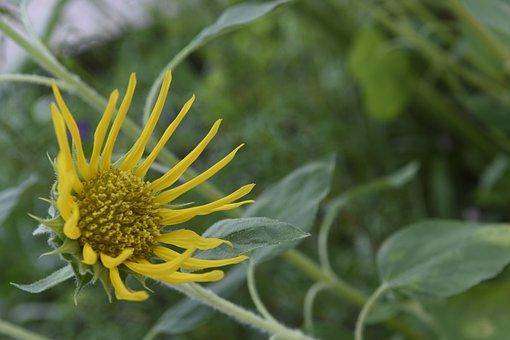 Sunflower, Sun, Sunshine, Flowering, Yellow, Flower