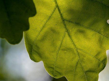 Oak, Sheet, Tree, Light, Sun, Green
