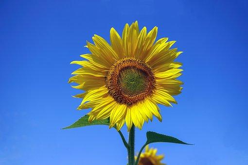 Sunflower, Flower, Yellow, Summer, Bright, Bloom