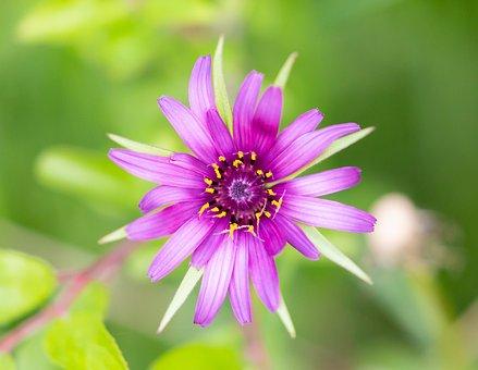 Salsify, Flower, Plant, Tragopogon Porrifolius