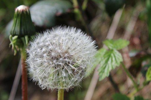 Dandelion, Seeds, Wild Flower, Flying Seeds, Weed