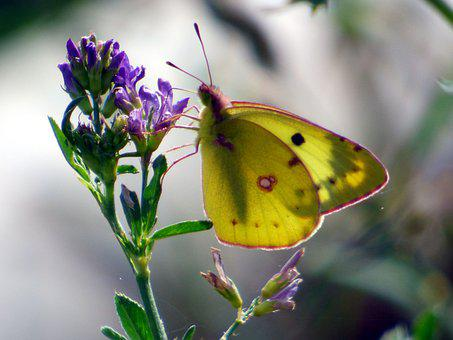 Butterfly, Yellow, Insects, Nature, Flower, Wing
