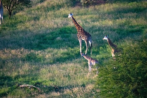 Giraffes, Bush, Africa, Safari, Animal