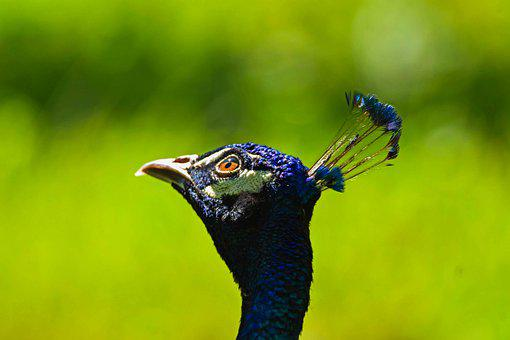 Pride, Pattern, Animal, Blue, Closeup, Head, Peacock