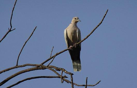 Bird, Dove, Eurasian Collared, Perched
