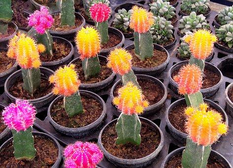 Cactus, Cactus Sets, Tequila