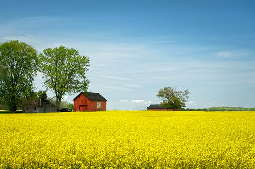 Canola, Rapeseed, Agriculture, Yellow, Field, May