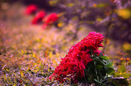 Rose, Flowers, Daylight, Red, Filter