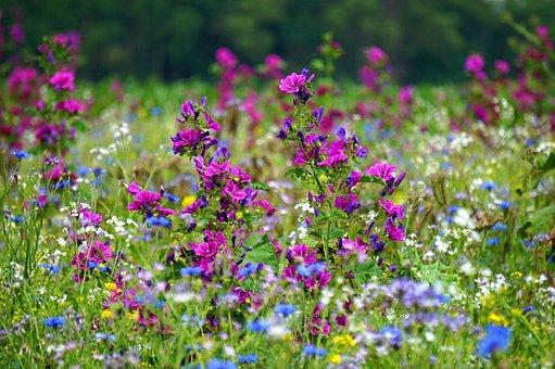 Flowers, Wild Flowers, Flower Meadow, Nature, Plant