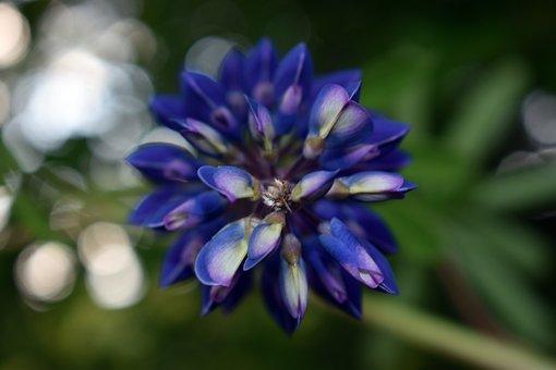Lupine, Flower, Spring, Figure, Garden
