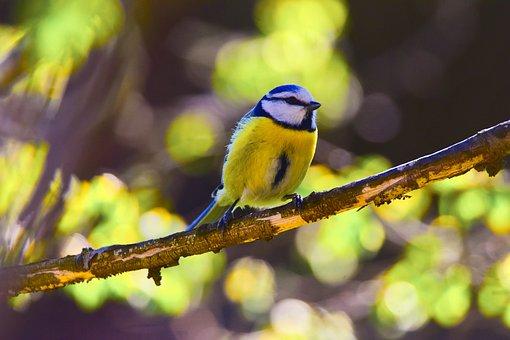 Bird, Nature, Tit, Blue Tit, Wild, Garden, Flower
