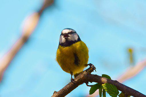 Bird, Nature, Tit, Blue Tit, Wild, Garden, Flower