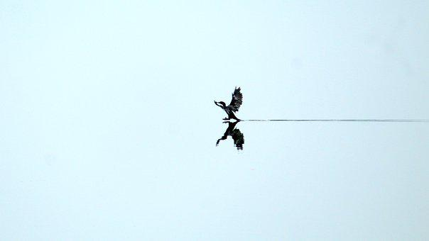 Kerala, India, Little Cormorant, Bird