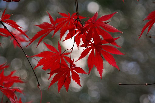 Red, Leaves, Autumn, Leaf, Garden, Nature, Fall, Color