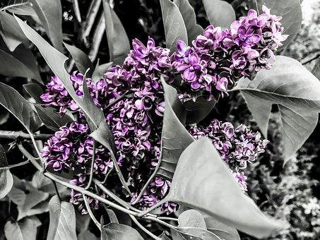 Lilac, Oleaceae, Ornamental Shrub, Lilac Flower, Plant