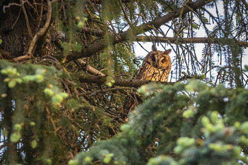 Long-eared Owl, Asio Otus, Owl, Wildlife, Bird Of Prey