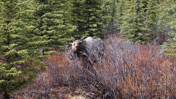 Moose, Wildlife, Alaska, Nature, Mammal, Outdoors