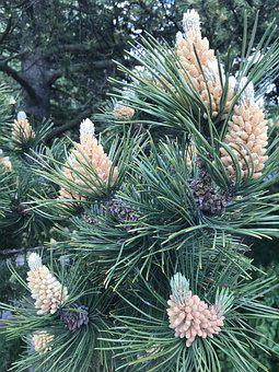 May, Pine, Detail, Tree In Bloom, Forest, Garden