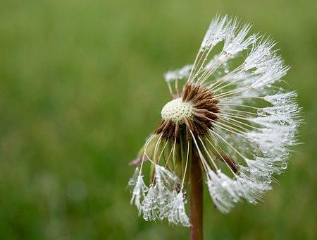 Dandelion, Spring, Seeds, Nature, Close Up, Flower