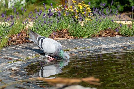 Dove, Drink, Fountain, Water, Pigeons, Bird, Nature