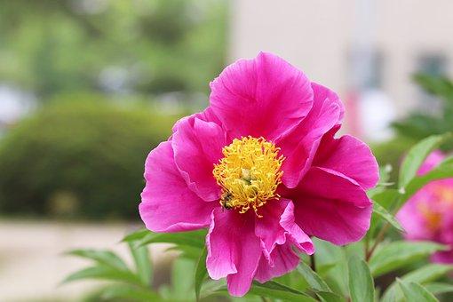 Peonies, Flowers, Peony Flowers, Petal, Nature, Plants