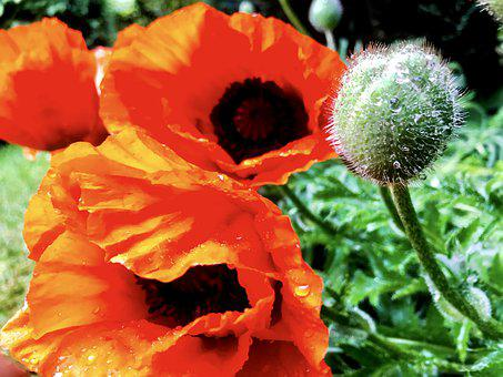 Poppies, Poppy Capsule, Poppy Flower